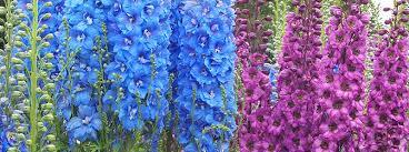 delphinium flowers delphinium consolida sydney purple delphinium flowers catalog