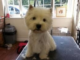 images of westie hair cuts that west highland terrier vanity furr dog grooming runcorn