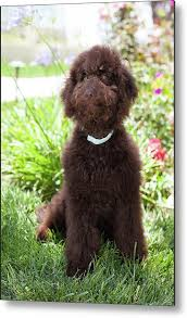 dogs with curly hair and floppy ears cute curly chocolate labradoodle puppy dog sits on the grass metal