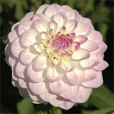 13 best flowers for the garden images on pinterest dahlias
