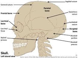 Anatomy Of The Human Skeleton Axial Skeleton Anatomy Visual Guide
