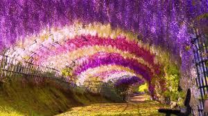 wisteria flower wallpaper wallpaper