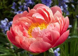 peonies flowers paeonia coral sunset peony