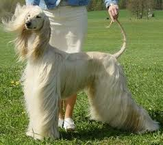 afghan hound top speed 58 best afghans and salukis images on pinterest afghans dog