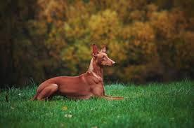 weimaraner vs afghan hound 15 of the fastest dog breeds u2013 iheartdogs com
