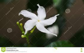 white gardenia flower stock photo image of exotic gardenia
