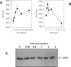 abundance of cyclin b1 regulates γ radiation u2013induced apoptosis