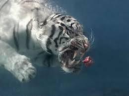 diet white tiger