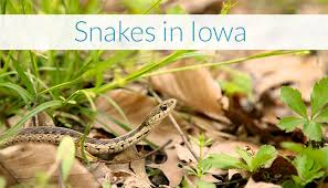 Found A Snake In My Backyard Snakes Of Iowa