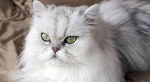 gatti persiani bianchi gatti di razza il gatto persiano petpassion