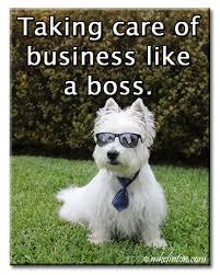 Like A Boss Meme - pierre westie meme taking care of business like a boss memes