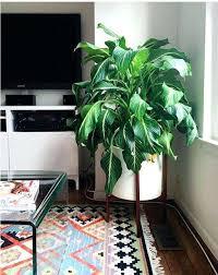 low light indoor trees indoor tree low light houseplants that need sunlight low light