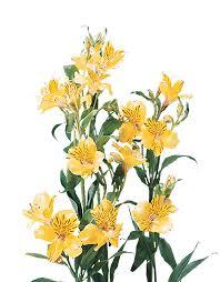 Alstroemeria Floralife Alstroemeria