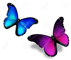 two violet blue butterflies on white background stock photo