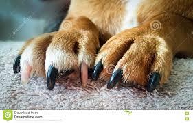 boxer dog feet dog paws and nails stock photo image 75634270