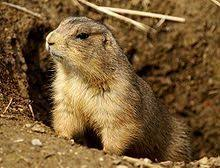 u0027s difference gophers groundhogs prairie dogs
