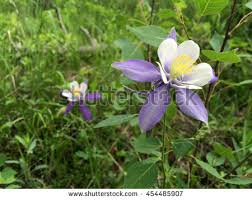 State Flower Of Colorado - colorado state flower stock images royalty free images u0026 vectors