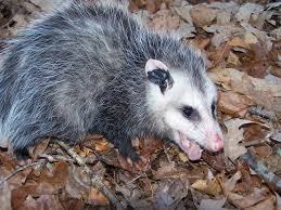 Connecticut wild animals images Opossum removal wildlife control connecticut jpg