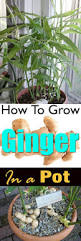 how to grow ginger in pot growing ginger grow ginger and gardens