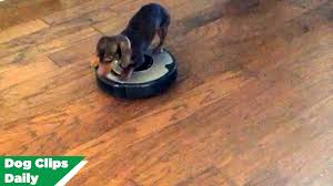 Best Laminate Flooring With Dogs Best Of Dogs Getting Into Trouble Youtube