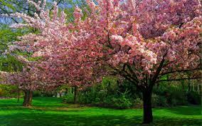 landscape nature cherry blossom trees lawns park flowers