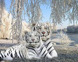 the 25 best tiger tattoo meaning ideas on pinterest white tiger