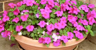 Flower Seeds Online - winter season plants buy 6000 nursery plants n seeds online