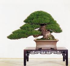 black pine bonsai seed kit grow your own bonsai trees ebay
