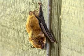 As Blind As A Bat Meaning The Benefits Of Bats In The Garden Hgtv