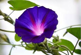 Morning Glory Climbing Plant - how to grow morning glory planet natural