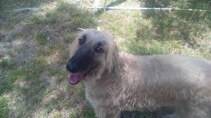 afghan hound of america adopted kip in south carolina afghan hound club of america
