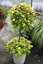 Topiaries Plants - 79 best topiaries images on pinterest topiaries plants and