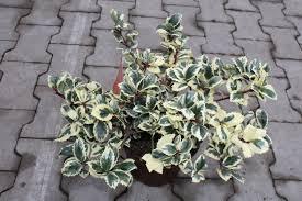 common casanova evergreen hedge plants hedge plants
