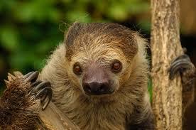 4 toed sloth two toed sloth the cincinnati zoo botanical garden
