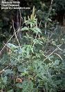 ambrosia plant