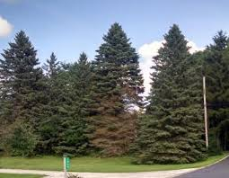 why are spruce trees in the midwest declining michigan radio