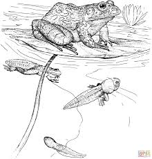 frogs coloring pages free coloring pages frog egg coloring page in
