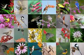 native plant society of new jersey why native plants are better for birds and people u2014 cnps san diego