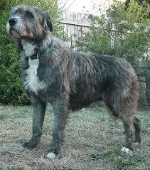 belgian shepherd x staffy 14 best bull lurcher images on pinterest lurcher dog stuff and pets