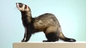 where did ferrets originally come from reference