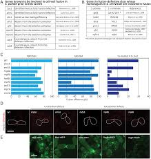 a systematic screen for morphological abnormalities during fission
