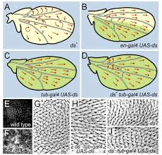 interactions between fat and dachsous and the regulation of planar