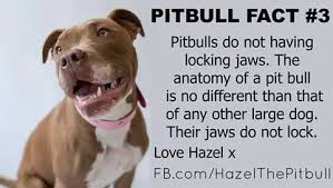 american pitbull terrier jaw 16 true facts about pit bulls mom bun