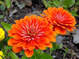 Zinnia Flower Free Picture Orange Flower Zinnia Flowers