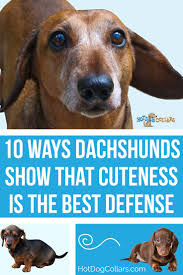 Cute Dog Products by 214 Best Dachshunds Images On Pinterest Animals Doggies And