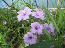 plants native to new mexico growing mexican petunias hgtv