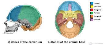 Gross Anatomy Of The Brain And Cranial Nerves Worksheet Bones Of The Skull Structure Fractures Teachmeanatomy