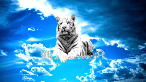 white tiger hd wallpaper and background image 1920x1080
