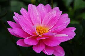 pink flower file beautiful pink flower west virginia forestwander jpg