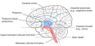 Thalamus Part Of The Brain Part Of Brain Which Controls Consciousness Medical Interest